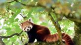 Genetic study shows the red panda is actually two separate species