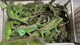 棄養綠鬣蜥造成嚴重農損 屏縣9個月捕逾5,000隻