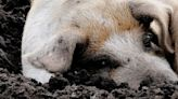 Dominican Republic restricts pig shipments, enlists military to fight African swine fever