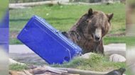 DIGITAL EXTRA: The Bears of the Grizzly and Wolf Discovery Center
