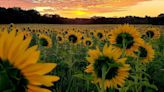 Towering flowers: Here are 6 sunflower farms in Central Wisconsin and where to find them