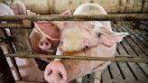 大陸豬肉價格跌近24% 逼近豬企自繁自養成本線