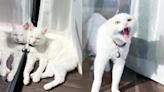 「貓的暴怒」午睡被吵醒的貓起床氣停不了 瘋狂碎念笑翻數萬網友