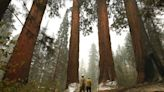 'Running out of options': Fight to protect giant sequoias has gotten experimental