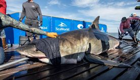 15-foot shark from North Atlantic pops up along Florida Panhandle, which is unusual