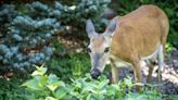 Pit bull and deer strike up unlikely friendship in heartwarming video