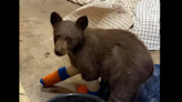 Injured bear cub rescued from Tamarack Fire escapes wildlife center