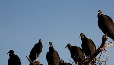 Buzzards that vomit when threatened and leave piles of acidic dropping have invaded a small town and nobody knows why