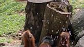 新加坡動物專屬派對 紅毛猩猩玩超嗨