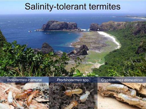 會航海的白蟻 興大研究團隊發現白蟻海漂擴散新證據