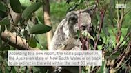Koalas May Become Extinct in Part of Australia by 2050, Government Study Finds