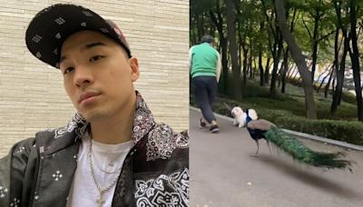 BIGBANG太陽IG驚現跟著寵物狗散步的孔雀,真實身份原來是小有名氣的網紅!孔雀主人後知後覺:「早知道就跟太陽打招呼了!」