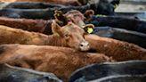 Argentina progressively resumes beef exports