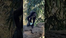 Phone Snatched by Spider Monkey || ViralHog