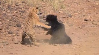 Video shows extraordinary fight between tiger and sloth bear trying to protect her cub