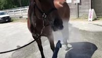 Vancouver Police Horse Enjoys Summertime Drink From Hose
