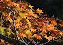 秋季限定美景楓紅了 阿里山賞楓季登場三角楓青楓爭豔