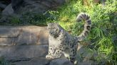 Snow Leopard At San Diego Zoo Tests Positive For Virus Causing COVID-19