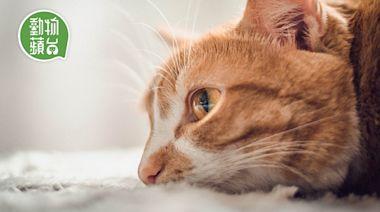 貓淚痕|貓淚眼汪汪可能是病毒感染 認識貓咪淚痕與護理 按摩剪毛或可改善 | 蘋果日報