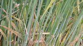 Alerta: confirman en el país la resistencia de ramularia a estrobilurinas