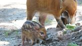 Franklin Park Zoo Welcome Its First Spotted Red River Hog Piglet