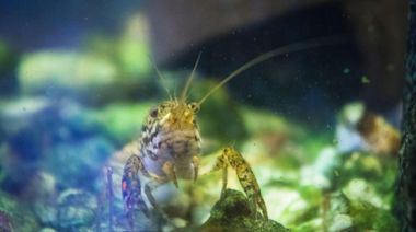 Escaped cloned female mutant crayfish take over Belgian cemetery