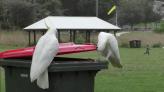 澳洲鸚鵡開垃圾桶覓食不稀奇 德國新研究:牠們還能教會夥伴