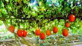 被譽為來自天堂的水果!「木虌果」 茄紅素是番茄25倍 專家曝最營養部位