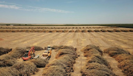 In blistering drought, California farmers rip up precious almond trees