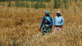 IGC sees record world wheat crop in 2020/21 season