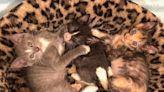 三隻小奶貓失溫營養不良好危急 寄養媽媽:拜託別放棄!