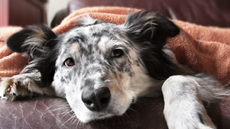 Dog Flu Is Rampant; Here's Everything You Need to Know