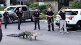 收編當警犬?美警察遇2.7m鱷魚 下秒綁繩溜起來