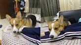 高一姐姐打BNT躺沙發唉唉叫 柯基犬往「打針手臂」巴下去