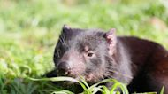 Tasmanian devils released on Australian mainland