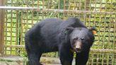 東卯山黑熊復原狀況良好 林務局朝野放方向準備