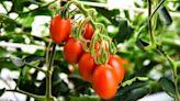 吃了能降血壓?日本基改番茄申請上市販售