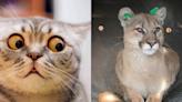 散步中貓咪突然「高度警戒」 竟於自家門廊發現美洲獅!