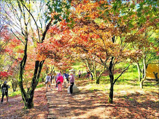 《台中》楓葉紅了 福壽山農場訂房幾客滿