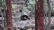 Giant Tortoise Thought Extinct for 112 Years Rediscovered in Galápagos Islands