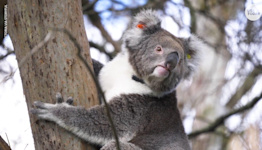 'In rapid decline': Australia has lost 30% of its koalas in just 3 years, foundation says