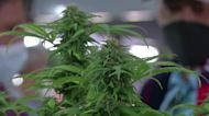 Thailand's newest economical engine: cannabis
