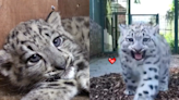 胖寶寶雪豹「吱吱叫」 軟萌甜聲融化網友的心!
