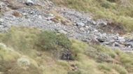 Over 20 Himalayan Bull Tahr are hidden on this New Zealand mountainside