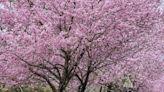 近20幾棵大型櫻花園!嘉義梅山縣道隱藏版的賞櫻祕境! │ 旅遊頻道 │ 三立新聞網 SETN.COM