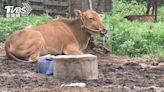 牛結節疹影響產肉、泌乳 染病牛需撲殺防堵
