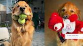 世界上最能咬網球的狗勾!榮獲金氏世界紀錄的「黃金獵犬」,一口6顆直接打包帶走! | 寵物圈圈 | 妞新聞 niusnews