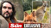 Russell Brand's dog mauls wallaby to death on walk but comic saves joey