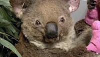 Koalas burned their paws during bushfires - then people stepped in knitting mittens to help them heal