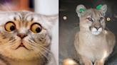 驚險奇遇記!貓咪散步突然「炸毛警戒」 竟是因為發現活生生美洲獅! | 毛孩日常 | Babyou姊妹淘